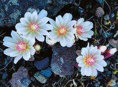 Bitterroot blossoms as seen along the Alder Springs trail in Central Oregon High Desert Landscaping, Landscaping Ideas, Landscape Photography, Nature Photography, Sisters Oregon, Central Oregon, Spring Art, Autumn Art, Cool Plants