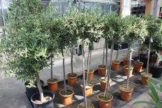 (jonge) olijfbomen in volle bloei