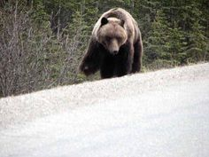 This large Grizzly is missing his front paw. Spotted just inside the Denali Park entrance. Erie Miller, FDNM