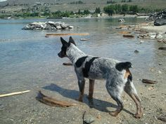 Blue heeler pup checking out the lake for the first time.