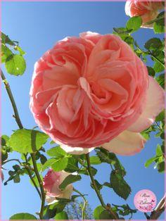 Rose Pierre de Ronsard dans le ciel du Sud de la France