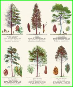 small garden plans How To Grow Trees And Shrubs, Trees To Plant, Conifer Trees, Garden Trees, Garden Plants, Baumgarten, Tree Identification, Watercolor Trees, Nature Journal