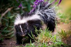 My goal in life: to have a skunk as my pet!! Remove stink sack. They are more cuddly than cats!