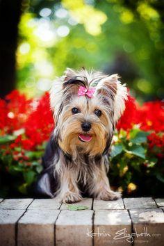 Yorkshire Terrier 6 by ~Katrin-Elizabeth on deviantART #yorkshireterrier