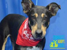 """""""REBA"""" - ID#A1686814  I am a spayed female, tricolor Terrier/ (Doberman?) mix.  The shelter staff think I am about 2 years old  I have been at the shelter since Mar 18, 2015. PLS HELP SHARE/ SAVE THIS GORGEOUS GIRL FROM THIS BUSY SHELTER.  http://www.petharbor.com/pet.asp?uaid=MIAD.A1686814"""