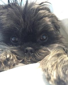 8 Irresistible Affenpinscher Faces That Will Make Your Day - American Kennel Club
