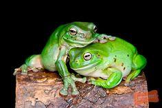 Australian Green Tree Frogs.