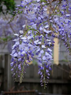 By Kathleen Mierzejewski Wisteria is a beautiful climbing vine that is native to the eastern side of the United States. It grows beautiful flowers and hangs wonderfully off woody vines that can climb anything. They are a member of the family of peas and wisteria seed pods are where the seeds come from. Wisteria seed…