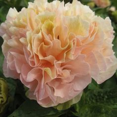 Lois' Choice - excellent garden variety, compact and upright.