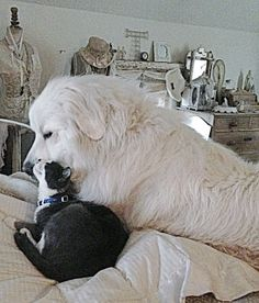 Trusting love.  The giant and the small cat.