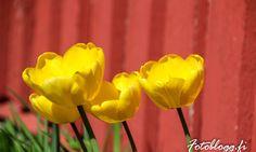 Sundom blommor m.m 11.05.2016 - Fotoblogg.fi