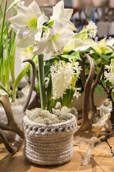 White amaryllis in a knitted pot.