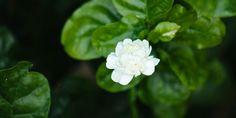 Συμβουλές φροντίδας για το φούλι Ikebana Arrangements, My Secret Garden, Home And Garden, Rose, Plants, Gardenias, Decoration, Tape, Decorating