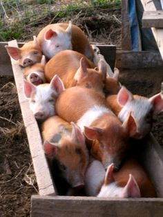 Cuties <3 I really want to have some pigs as my pets :D I just love them sooo much!