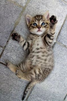 These cute kittens will bring you joy. Cats are fascinating friends. Cute Kittens, Cutest Kittens Ever, Cute Baby Cats, Cute Baby Animals, Ragdoll Kittens, Tabby Cats, Pics Of Kittens, Pretty Cats, Beautiful Cats