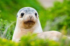 Sea Lion Pup Seal Bay (Image Credit Shutterstock)
