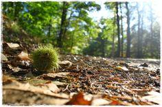 automne autum au sol  châtaigne dansloeildekro