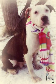 SUPER URGENT!!! PLEASE RESCUE DAISY!!! SHELTER FULL!!!! Youngstown, OHIO...Available on: 1/14Contact: fofmcdp@gmail.comDaisy (ID #24) is a sweet little blue and white pittie girl. She was found as a stray and kept for a few days by a good Samaritan who informs us that Daisy is housebroken, good with kids, and good with...