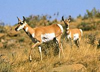 """Pronghorn antelope. The Pecora are an infraorder of even-toed hoofed mammals with ruminant digestion (Ruminantia, a clade within the Artiodactyla). Most members of Pecora have cranial appendages projecting from their frontal bones; only two extant genera lack them, Hydropotes and Moschus. The name """"Pecora"""" comes from the Latin word pecus, which means """"horned livestock"""". Although most pecorans have cranial appendages, only some of these these are properly called """"horns""""; and many scientists…"""