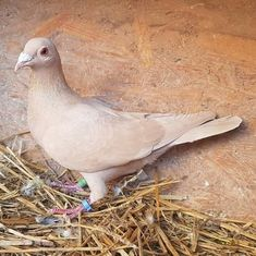 Pet Pigeon, Pigeon Loft, Agapanthus Blue, Pigeon Pictures, Homing Pigeons, Pigeon Breeds, Beautiful Roses, Pet Birds, Animals And Pets