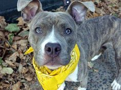 """SAFE !  - 10/23/13 Manhattan Center~ZAP~ID # A0982254. Female br brindle & whit pit bull mix.5 MTHS old. A BABY!!! The person who found her said Zap is """"friendly& playful, likes kids, people, & dogs."""" Zap's a puppy who's anxious to explore & make new friends. Her behavior exam was fine except guarding w/ rawhide & toys.Zap needs lots of love, & positive puppy training. If you are ready to invite a puppy into your home & provide for all her needs, come meet Zap. She's waiting to be loved."""