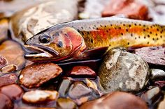 Trout: no other fish has such colors ...