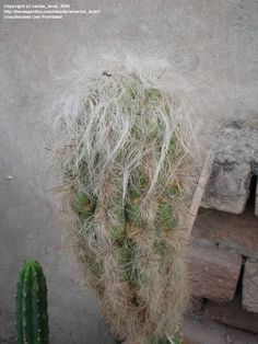 Full size picture of Old Man of the Andes (<i>Oreocereus celsianus</i>)