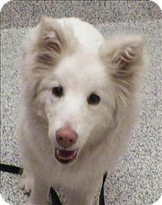 5/30/14 Golden, CO - Samoyed/Australian Shepherd Mix. Meet Luna, a dog for adoption. http://www.adoptapet.com/pet/10869138-golden-colorado-samoyed-mix