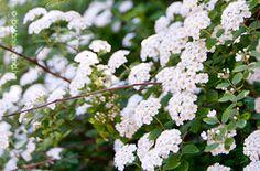 Kerti Gyöngyvessző Flowers, Plants, Plant, Royal Icing Flowers, Flower, Florals, Floral, Planets, Blossoms