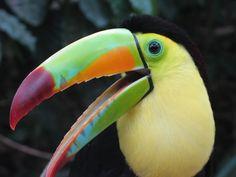 Toucan, Copan Bird Park_Med.jpg (1200×900)