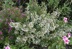calamintha montrose white - Google Search