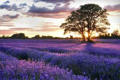 A purple haze just outside Croydon: escaping the city for Mayfield Lavender, Surrey.