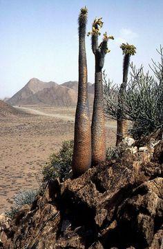 Pachypodium namaquanum 01 | Flickr - Photo Sharing!