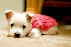 Small Westie Puppy Sleeping On Mat