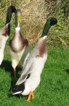 Indian Runner Ducks pictures - Google Search