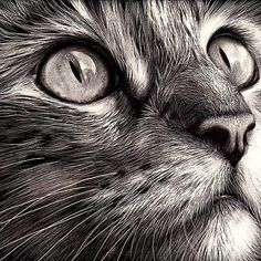 cat face Cats face - scratchboard art - this artist must be really good - looks so realistic Animal Drawings, Pencil Drawings, Realistic Drawings Of Animals, Realistic Cat Drawing, Pencil Sketching, Drawing Animals, Animal Sketches, Art Scratchboard, Scratch Art