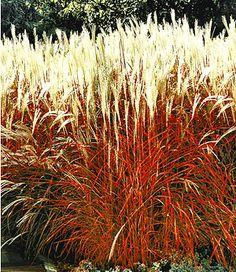 Ziergras Indian Summer1 Pflanze Chinaschilf Baume Pflanzen Mediterraner Garten