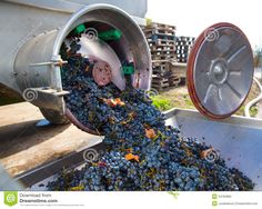 Photo about Corkscrew crusher destemmer in winemaking with cabernet sauvignon grapes. Image of organic, corkscrew, press - 34783865