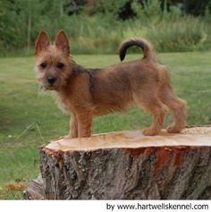 Australian Terrier | Australian_Terrier_7877.jpg