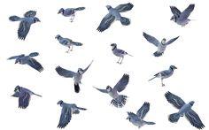 Bird Set - Blue Jay 01 by wolverine041269.deviantart.com on @deviantART