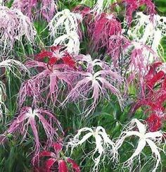 dianthus 39 dancing geisha 39 gardening pinterest stauden winterhart und k bel. Black Bedroom Furniture Sets. Home Design Ideas