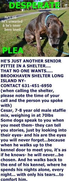 Described by the shelter director as ''an amazing senior who could melt your heart the moment you meet him,'' Cesar is a calm gentle dog who is excellent with other dogs and gets along well with cats. He is very social with all he meets- and all he wants...is love. https://www.facebook.com/DesperateDogsOfLongIsland/photos/a.1118385631541696.1073742368.429442887102644/1118385654875027/?type=3&theater