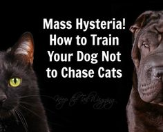 Blog post at Keep the Tail Wagging by Raising Dogs Naturally : Our dogs are Blue Heelermix (herding breed) and their natural instinct is to herd our cats. Not great when you have three dogs taking po[..]