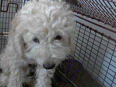 RESCUE ONLY - #A475575 Release to rescue 11/15 I am a male, white Poodle - Miniature. Shelter staff think I am about 3 years old. I have been at the shelter since Nov 08, 2014. ... City of San Bernardino Animal Control-Shelter. https://www.facebook.com/photo.php?fbid=10203913679579948&set=a.10203202186593068&type=3&theater