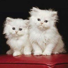 =^..^=   =^..^=      More Li'l Marshmallows ~ darling white kittens