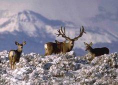 Magnificent Seven Mule Deer Bucks Mule Deer Buck, Mule Deer Hunting, Moose Deer, Deer Photos, Deer Pictures, Deer Pics, Big Game Hunting, Trophy Hunting, Hunting Stuff