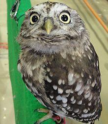 Sunda Scops Owl Otus lempiji Owl Species, Owl Family, Owl Pictures, Beautiful Owl, Cute Owl, Owl House, Livestock, Bird Feathers, Farm Animals