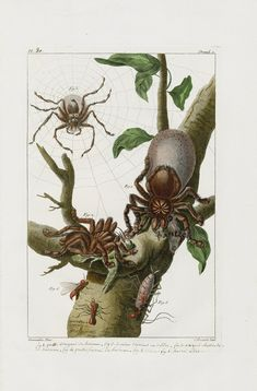 Grosse Araignee de Surinam Giant Surinam Spider from Buchoz. #spiders #insects #antiqueprints