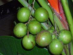 Mamón, mamoncillo, huaya, guaya, guayum, maco, quenepa papamundo o limoncillo (Melicoccus bijugatus)