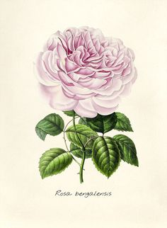 Antique Il Ration Of Rosa Benga Sis Free Image By Rawpixel Com Botanical Il Ration Antique